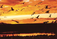 Photo of birds rising against a brightening sky